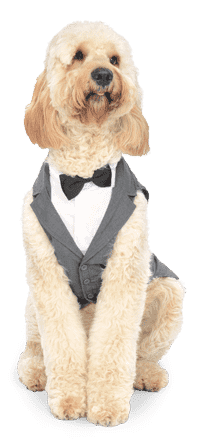 Golden Doodle Dubby wearing a gray suit and loving it.