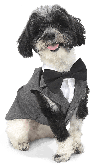 Small black and White dog wearing a gray suit.